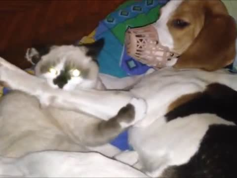 Kitten Takes Advantage of Dog With Muzzle