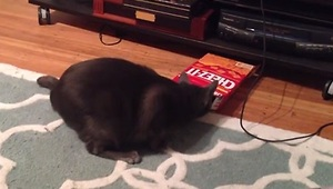 Cat Tries to Fit into a Cracker Box - Video