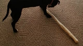 pitbull puppy with giant bone - Video