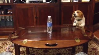 Determined Dog Struggles to Reach Water Bottle - Video