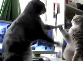 Cat Play Patty Cake - Video