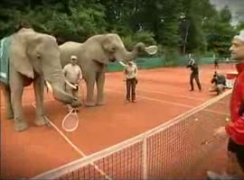 Elephants play tennis - Video