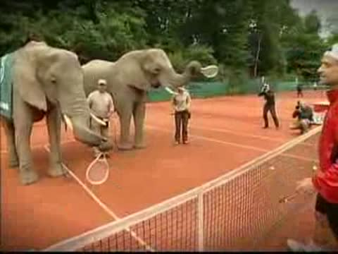 Elephants play tennis