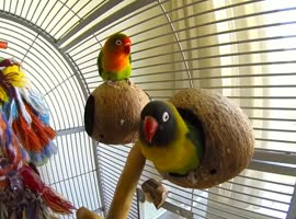 Cute Lovebird Dances to Polka! - Video