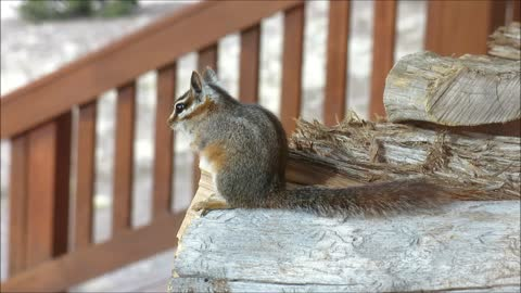 Chipmunk in a woodpile munching on sunflower seeds....
