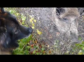 Dog and pig fight over the food - Video
