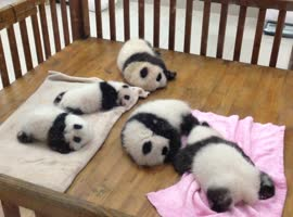 Baby Pandas Sleeping In Bassinet - Video