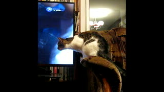 Cat Tries to Understand How a TV Works