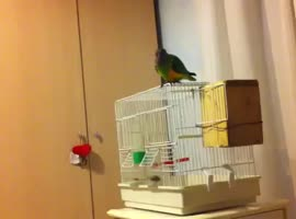 senegal parrot run away! - Video
