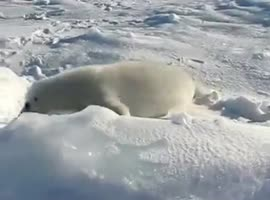 Little young seal lost in the snow - Video