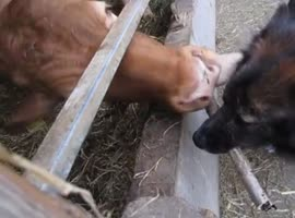 Cow Gives Dog a Bath! - Video