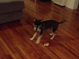 Far Sighted Dog Can't See His Bone - Video