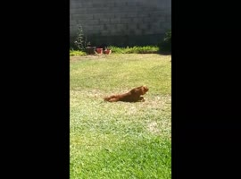 Cute Dog Does Worm Impression - Video