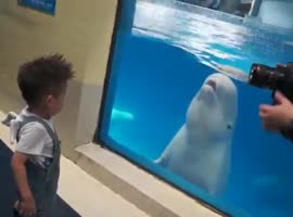 BELUGA WHALE PLAYS WITH A KID - Video