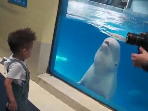 BELUGA WHALE PLAYS WITH A KID