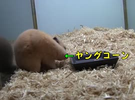 Young hamster eating corn - Video