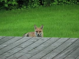what we can understand about foxes