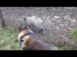 Shepherd and wild boar meet for a walk - Video