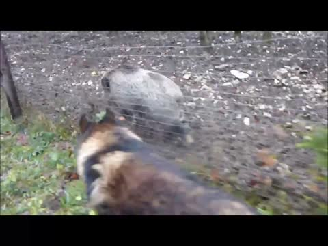 Shepherd and wild boar meet for a walk