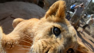 Lion Cub Plays Around With Camera! - Video