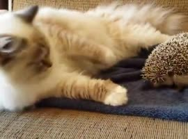 Kitten sits on a hedgehog. (laughter) - Video