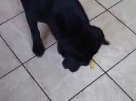Black Lab eating hot chips