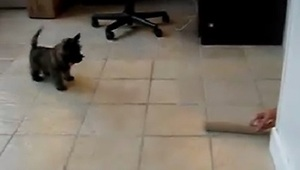 Paper Towel Roll Scares Puppy - Video