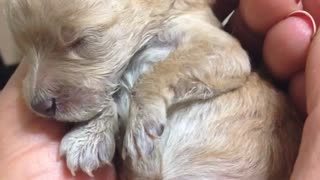 Precious poodle puppy sleeps in owner's hand