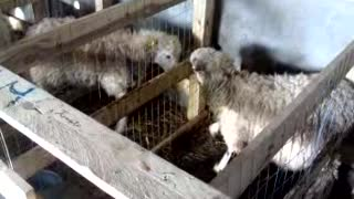 sheep vs sheep - Video