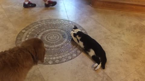 Golden Retriever Disrupts Cat from Playtime
