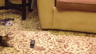 Curious kitten cautious of remote control