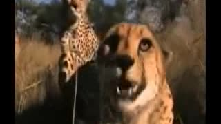 Cheetahs attacking blonde, but she had mastered the situation! - Video