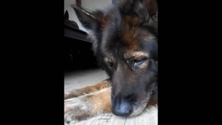 german shepherd dog is digusted by vermin - Video