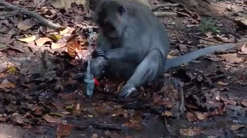 Monkey becomes frustrated with water fountain