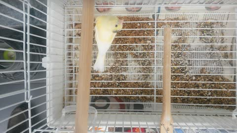 Canary Black Head
