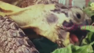 What Tortoise Do To Vegetables - Video