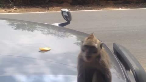 Agressive Monkey After Taking Off The Sun Glasses