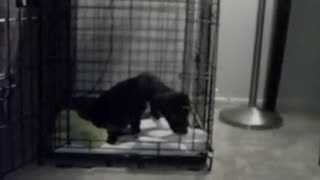 Puppy first time chewing a bone - Video
