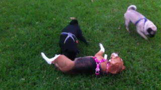 Pug Bothering A Beagle - Video