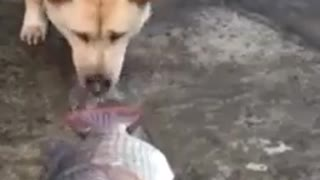 Hero Dog trying to save fish - Video