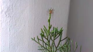 ORANGE SPIDER CLIMBING FIR TREE - Video