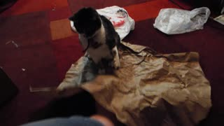 Crazy cat plays with brown paper