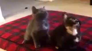 Cats shake their heads to the rhythm of music - Video