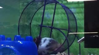 Hamster having fun on a wheel