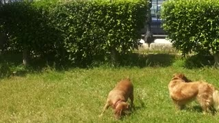 Dogs hunting lizard