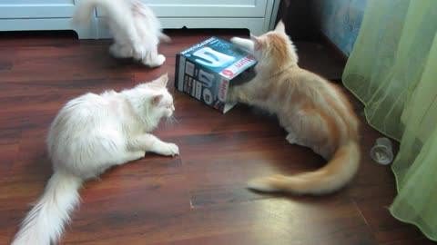 Kittens battle to hide inside box