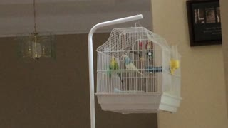 Parakeet Going Crazy - Video