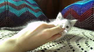 Little kitten playing with my hand - Video