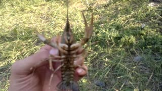 Small freshwater lobster - Video