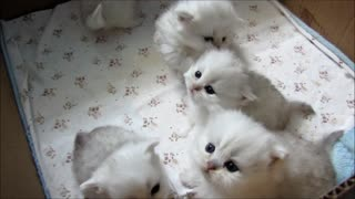 You Couldn't Resist These Cuddly Kittens - Video